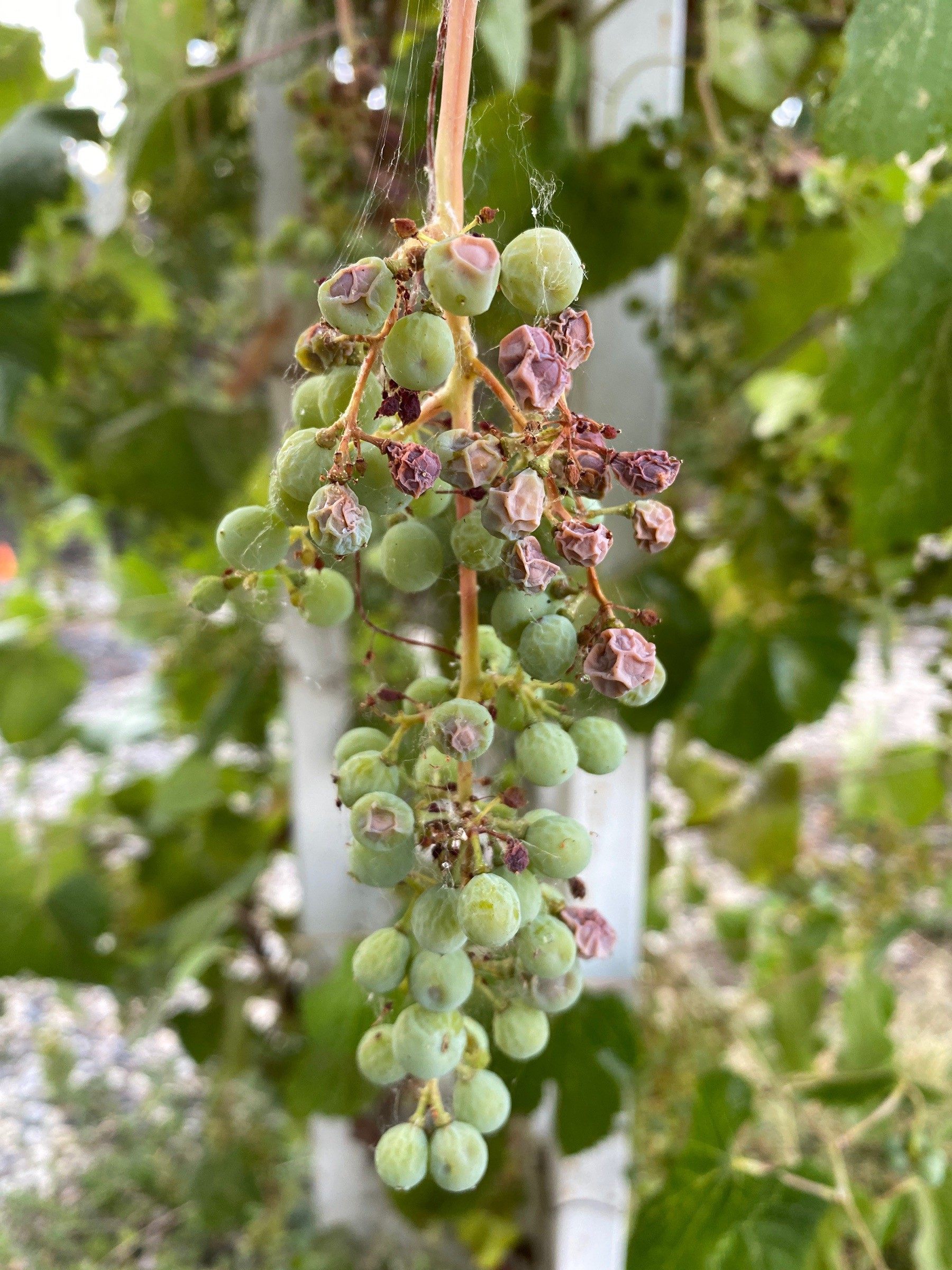 cultivated native California grapes turning to raisins