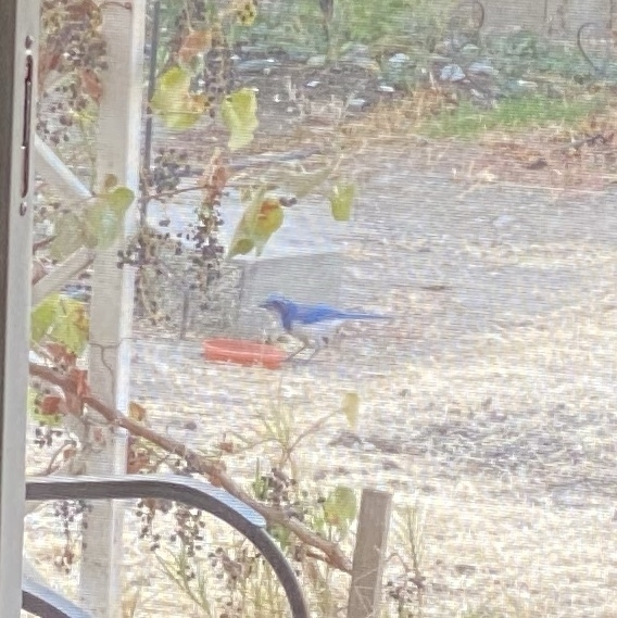 scrub jay eating bird seed on the ground