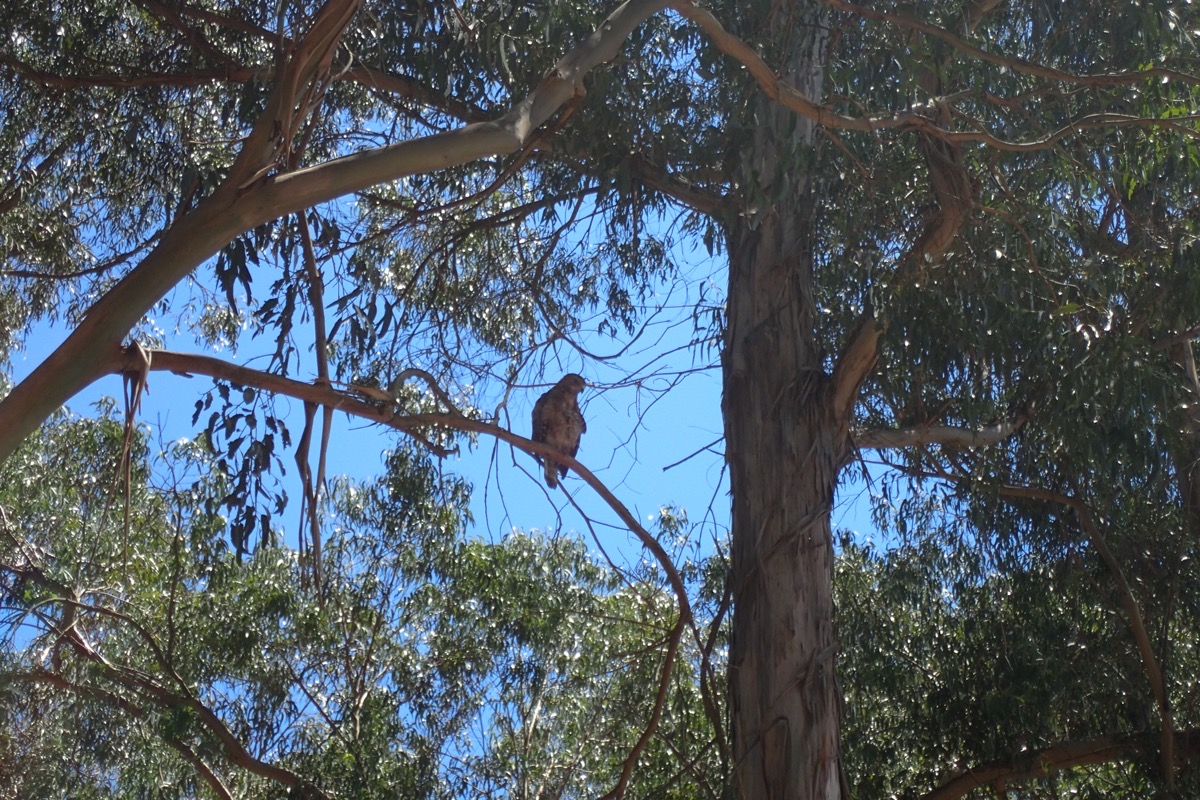 Raptor perched on a Eucalyptus branch