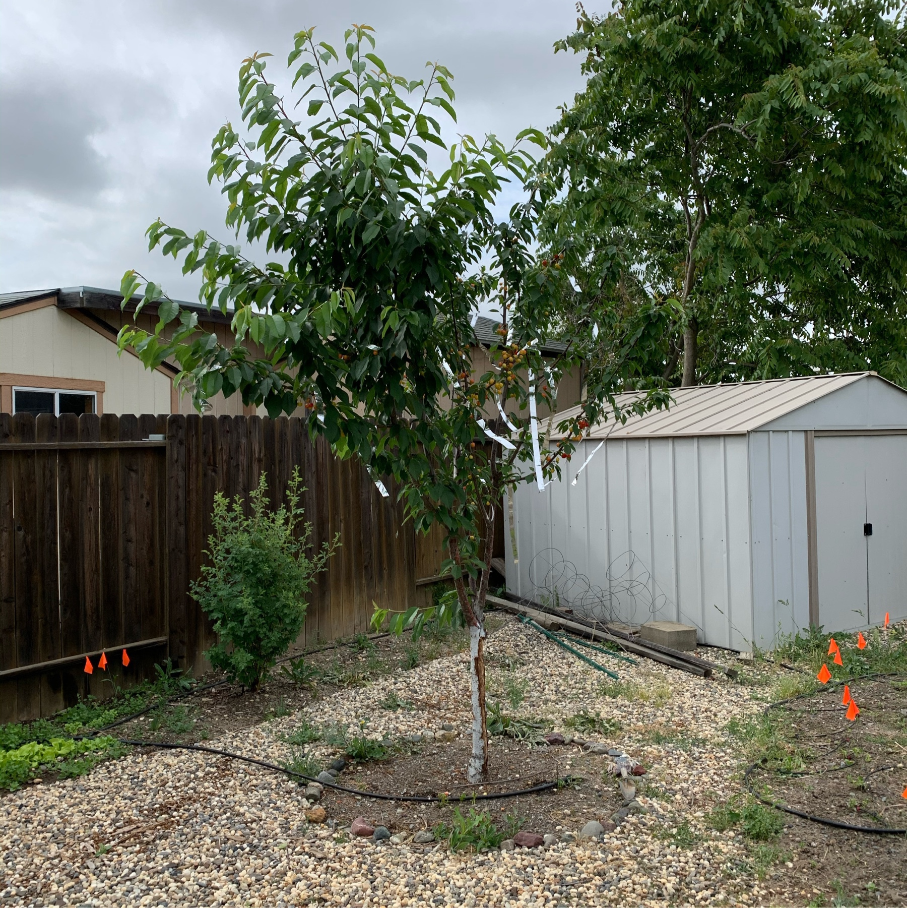 Three year old beetle infested tree we tore out