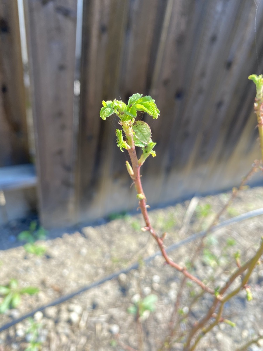 Fresh growth on a California Wild Rose
