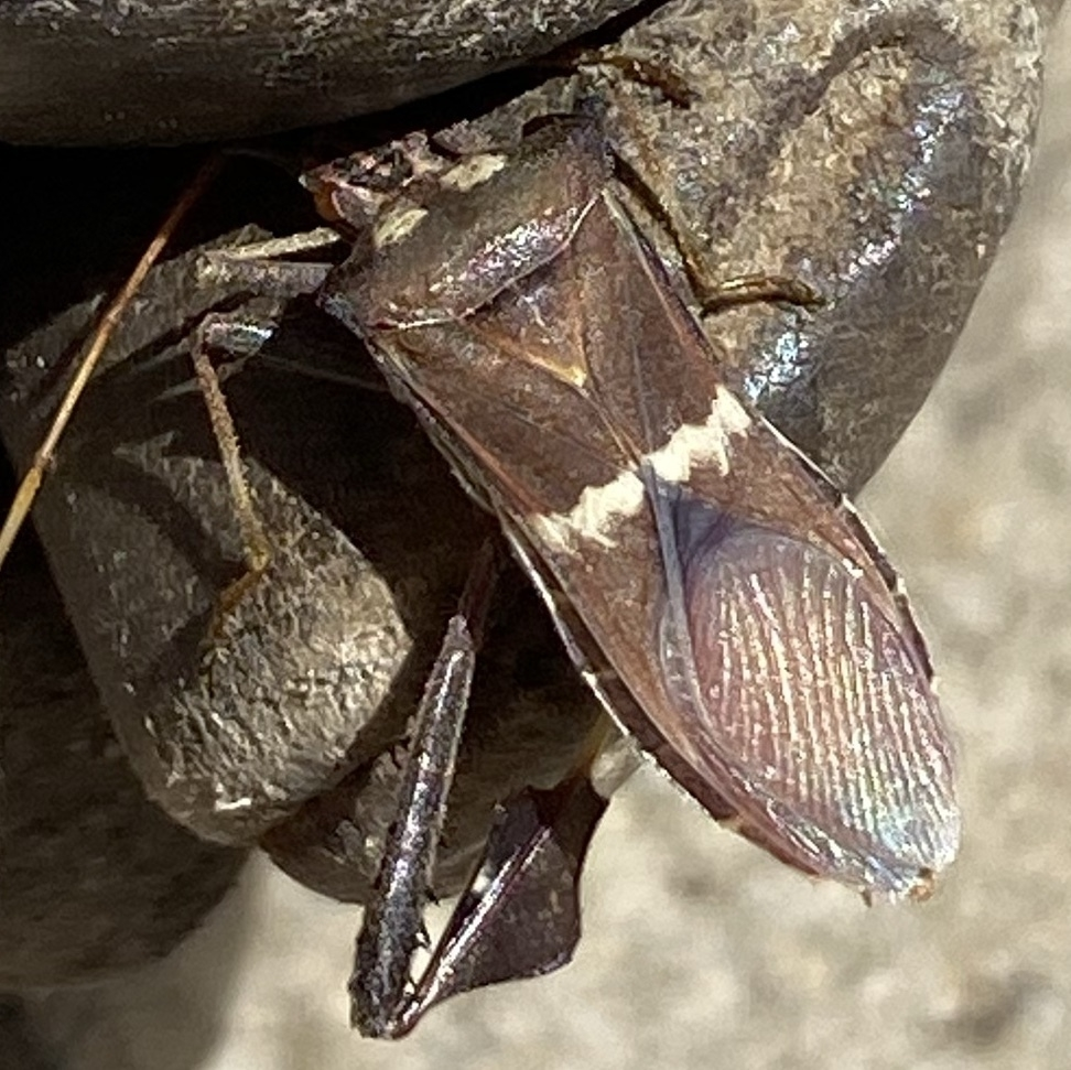 caught Leptoglossus zonatus in gloves showing its zigzag markings