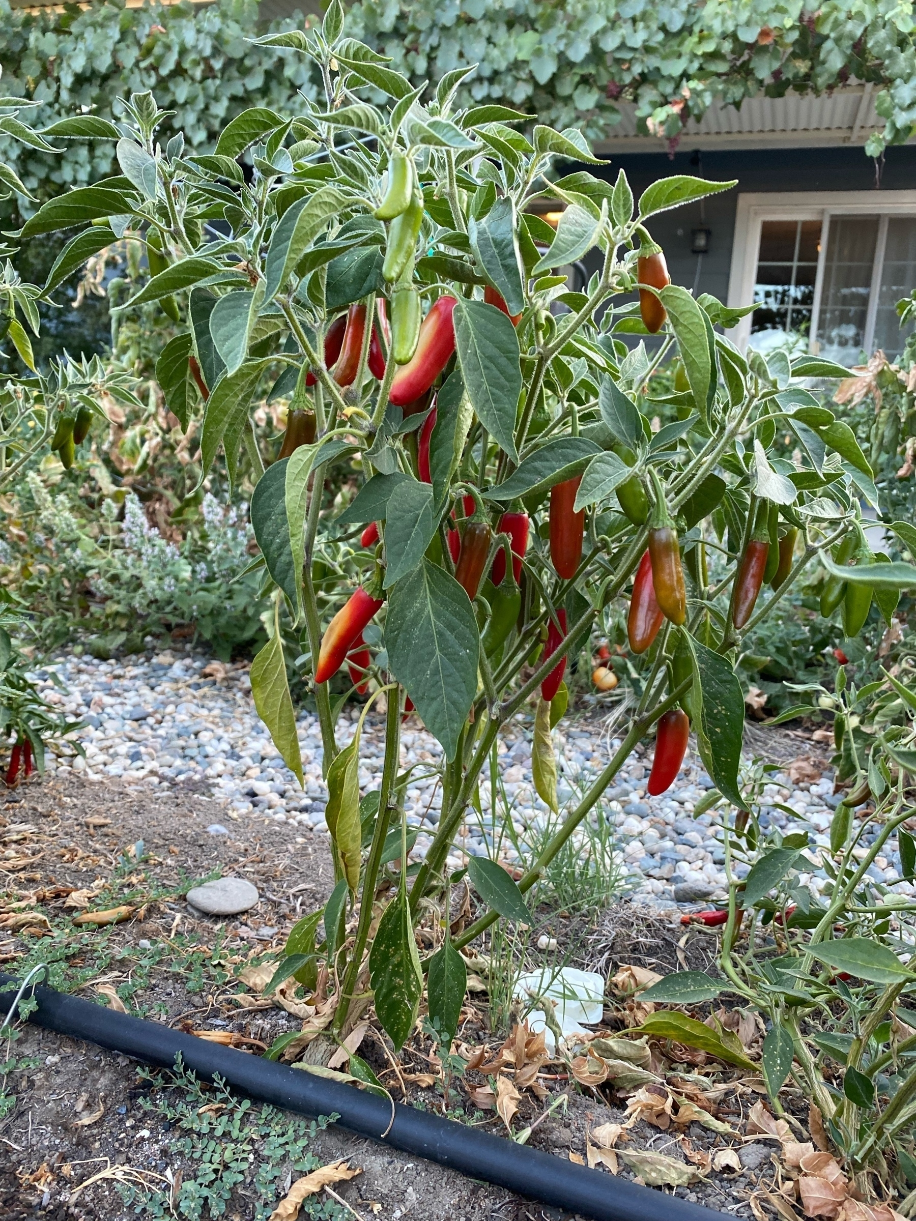 red ripe serrano peppers on a plant