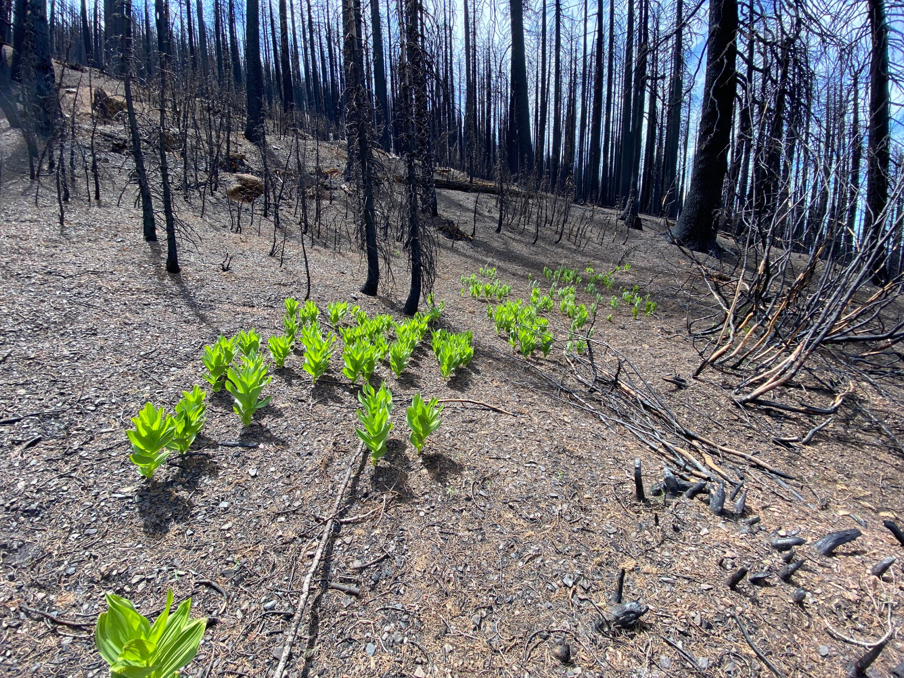 Green corn lilies amidst dark brown and black burned trees and soil