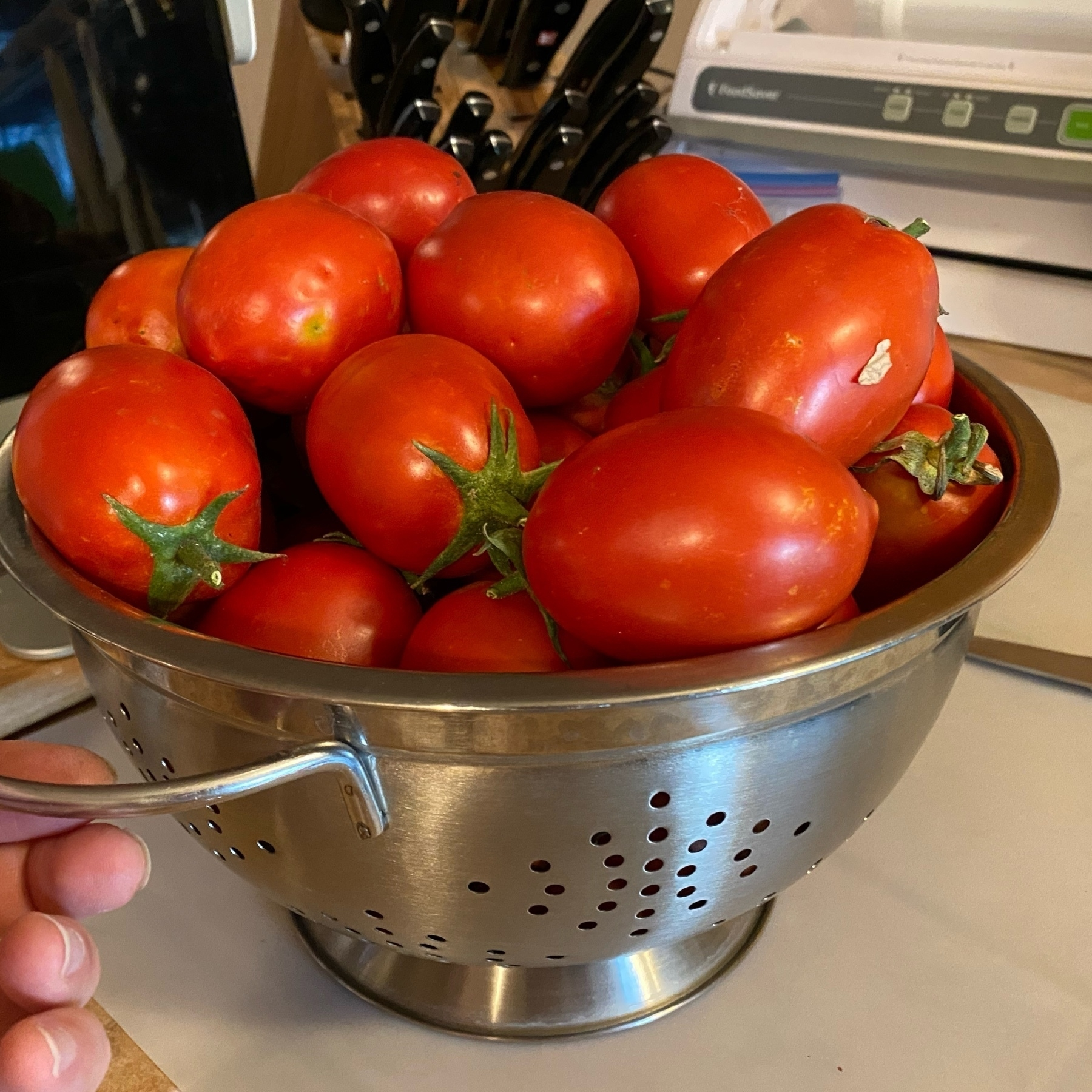 harvested ripe tomatoes, piled high in a metal colander