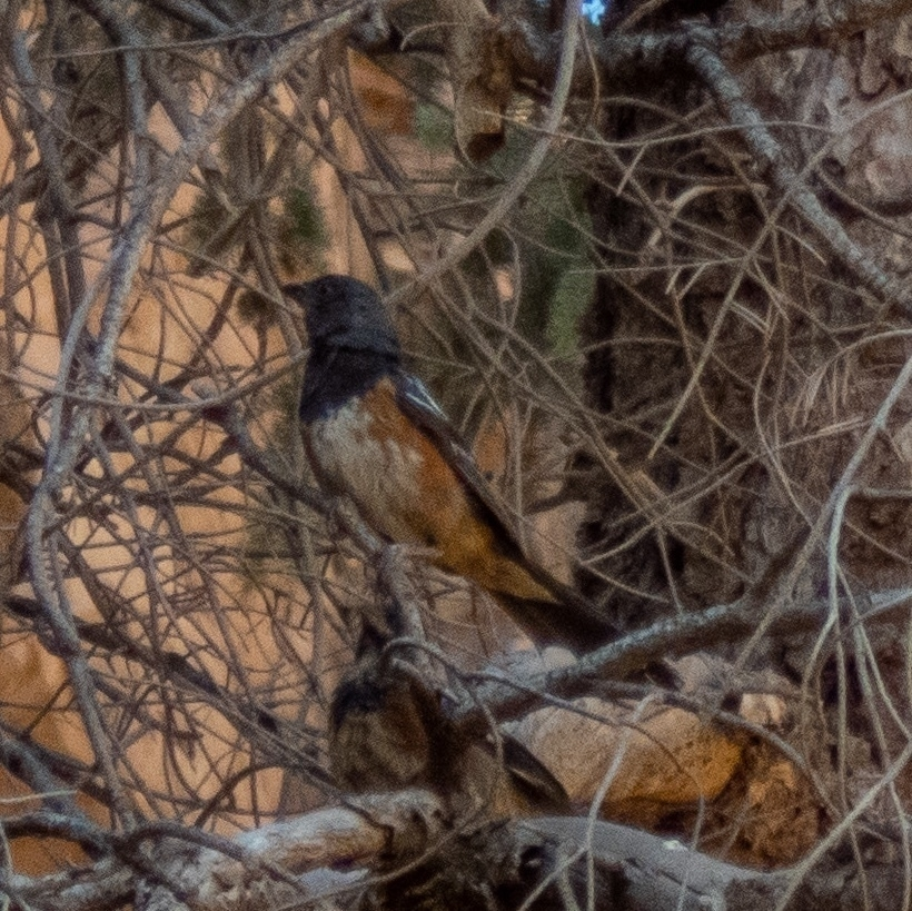 adult spotted towhee with dark red-orange sides