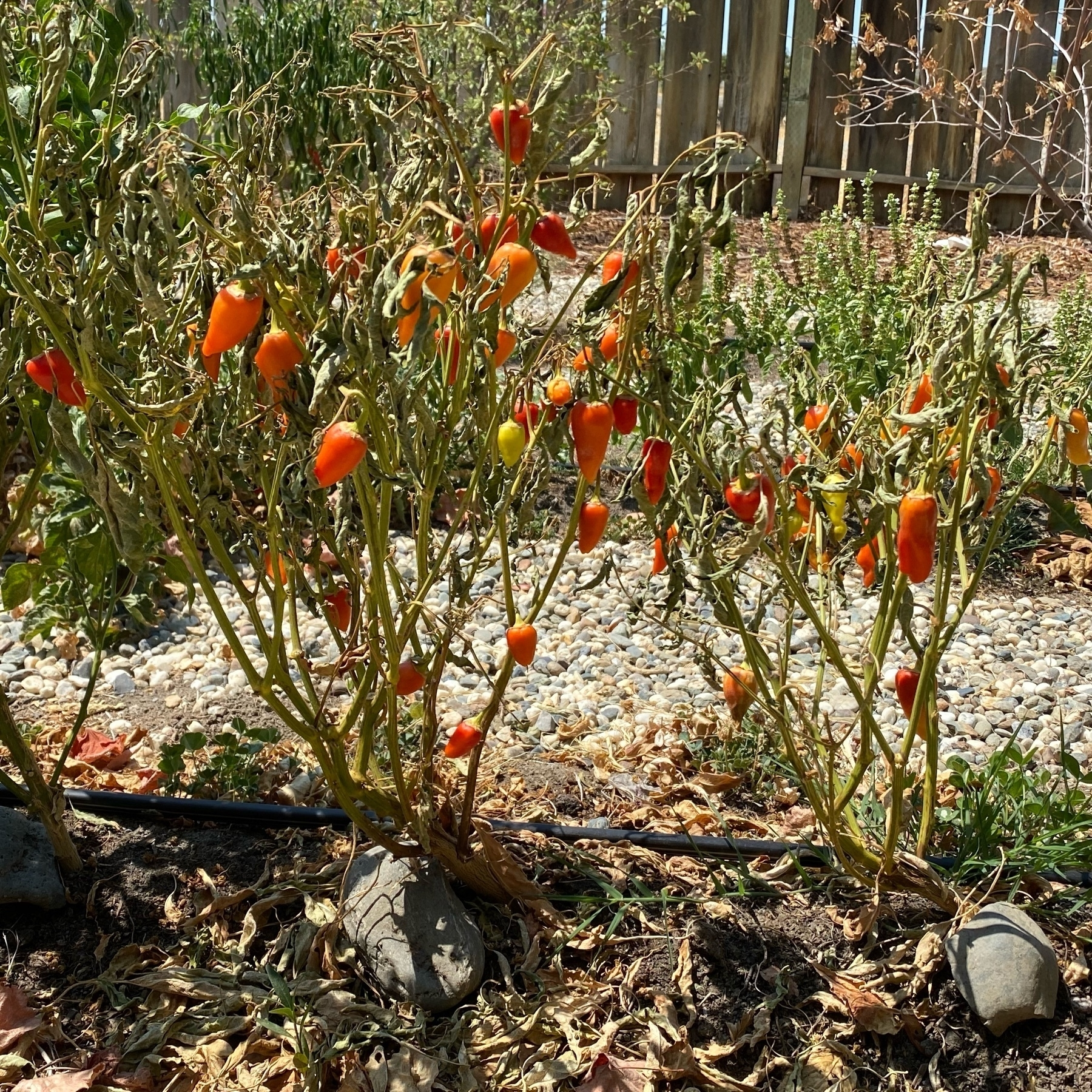 dead pepper plants with still good peppers