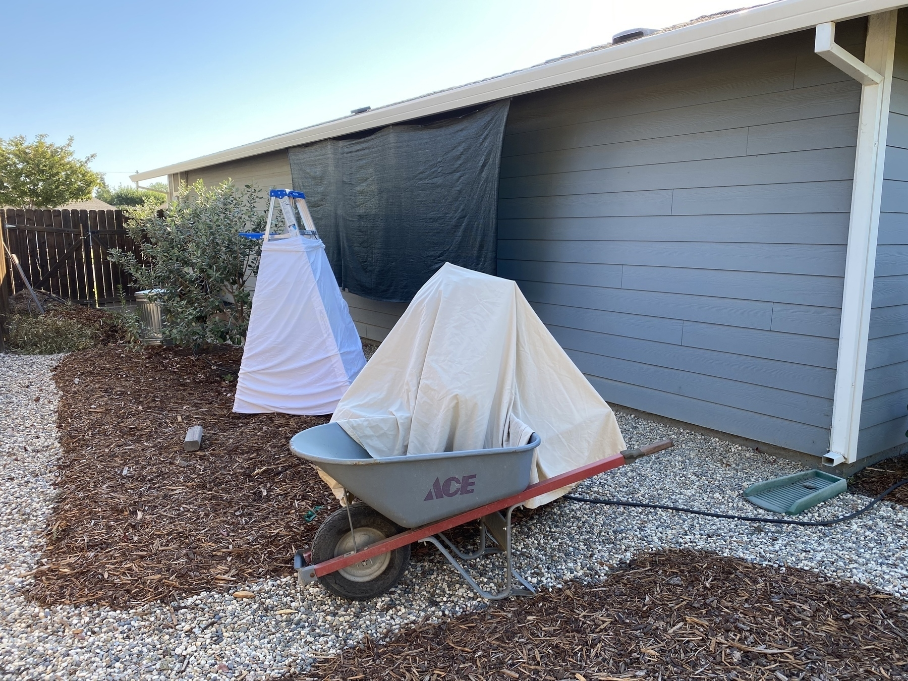 Sheets covering two avocado trees