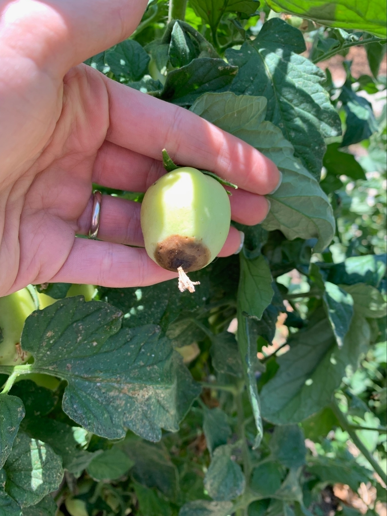 brown end rot on a tomato