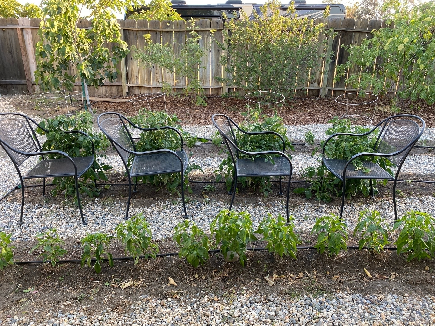 four patio chairs helping to keep tomatoes upright