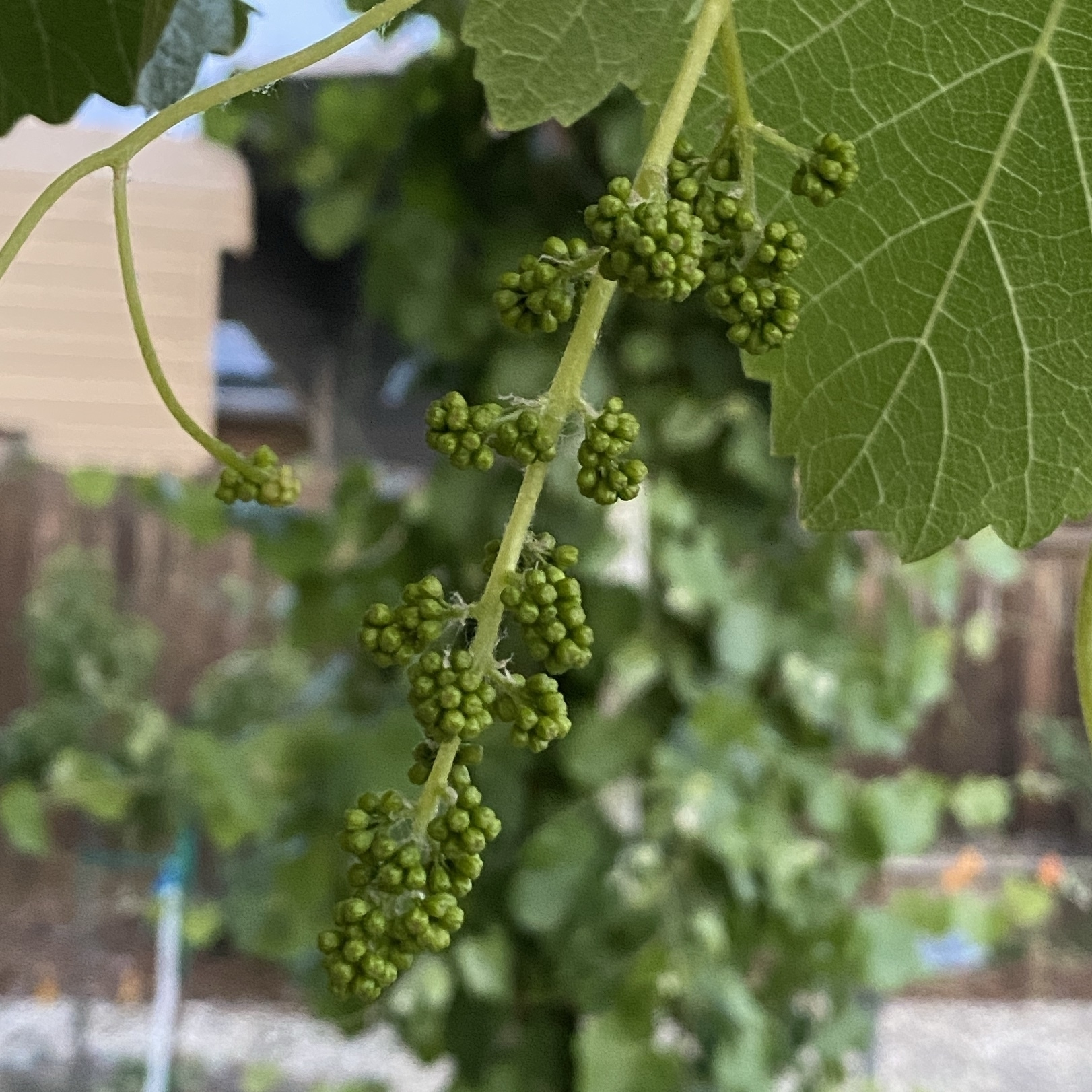 developing clumps of grape flowers