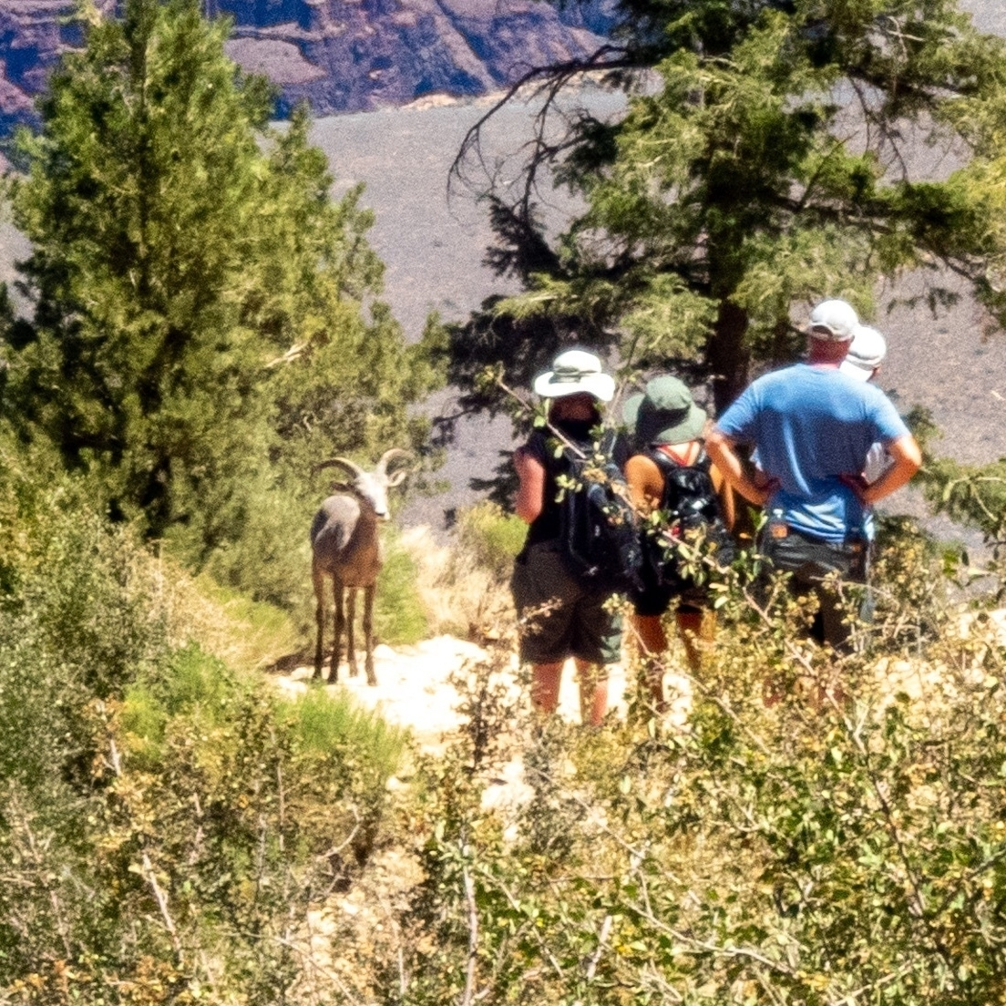 a young big horn sheep on the Trail with some hikers