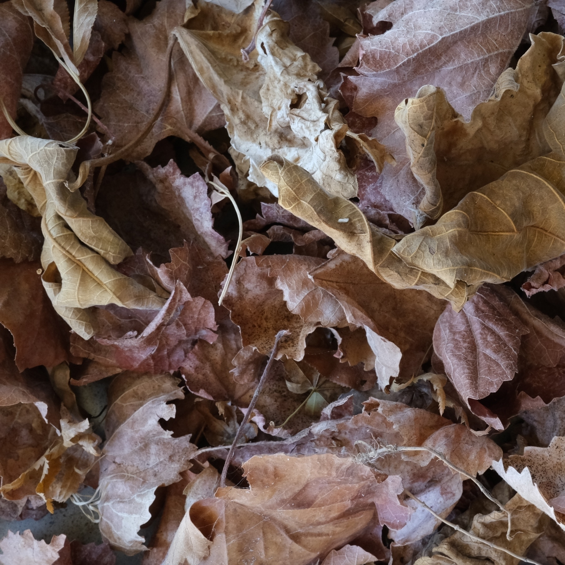 a collection of fallen grape leaves