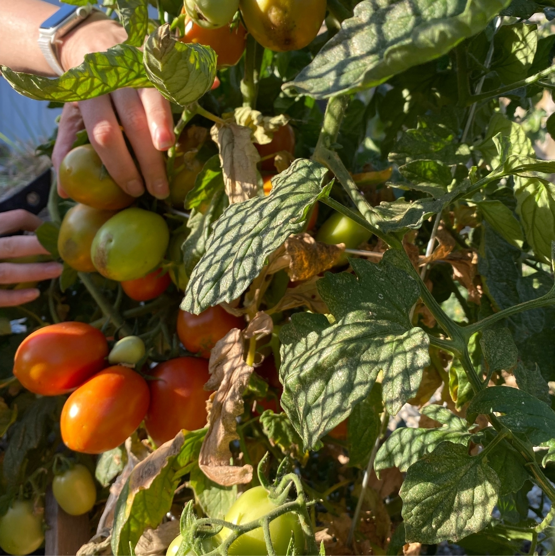 ripening tomatoes on a plant with human hand for scale