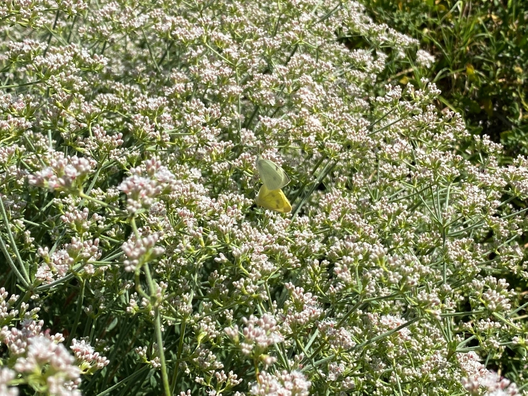 attached white and yellow butterflies on a bed of white buckwheat flowers