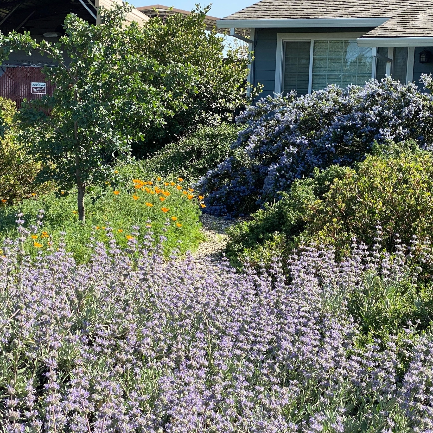 light purple sage flowers, golden poppy flowers, and violet ceanothus flowers.