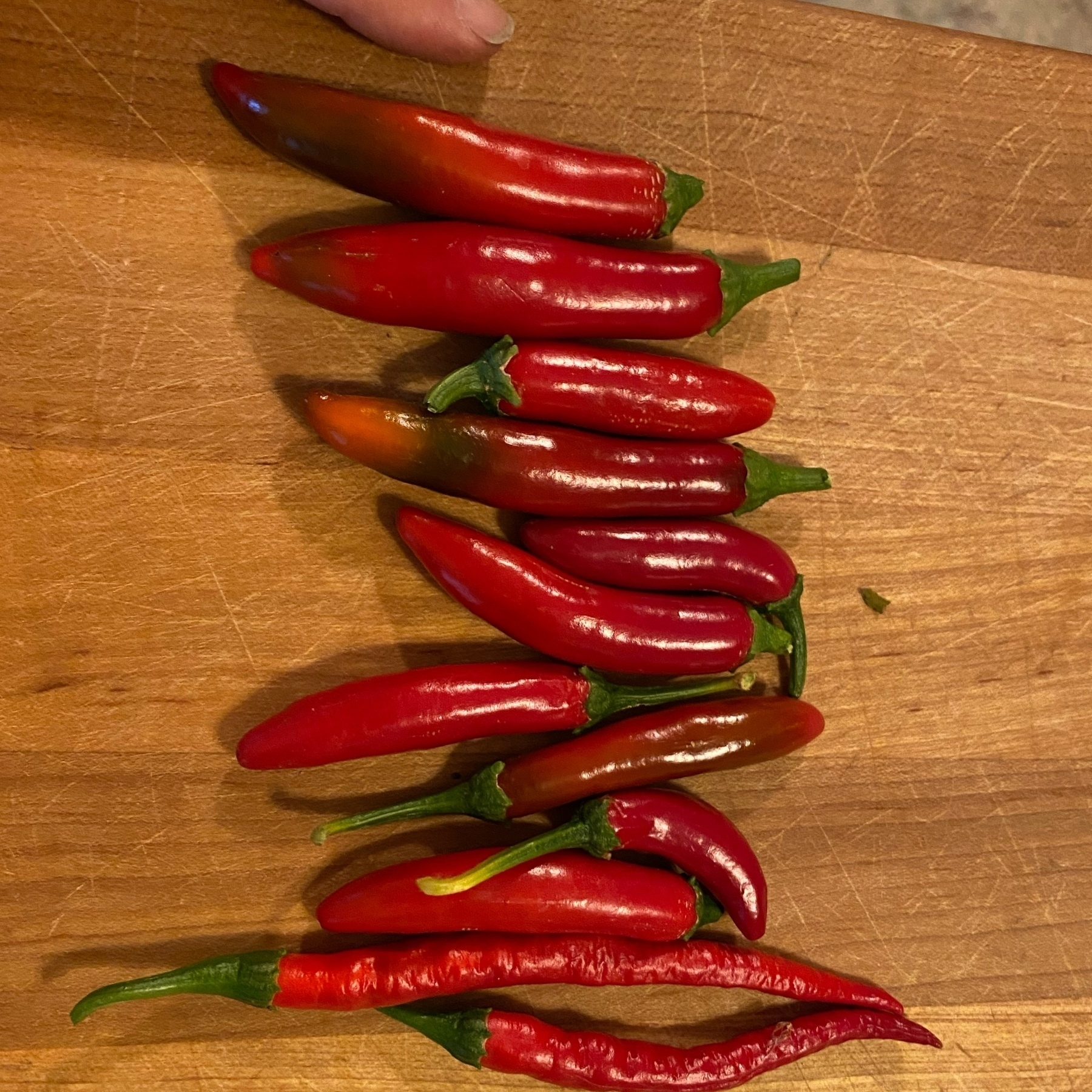 harvested ripe peppers, super shiny and red