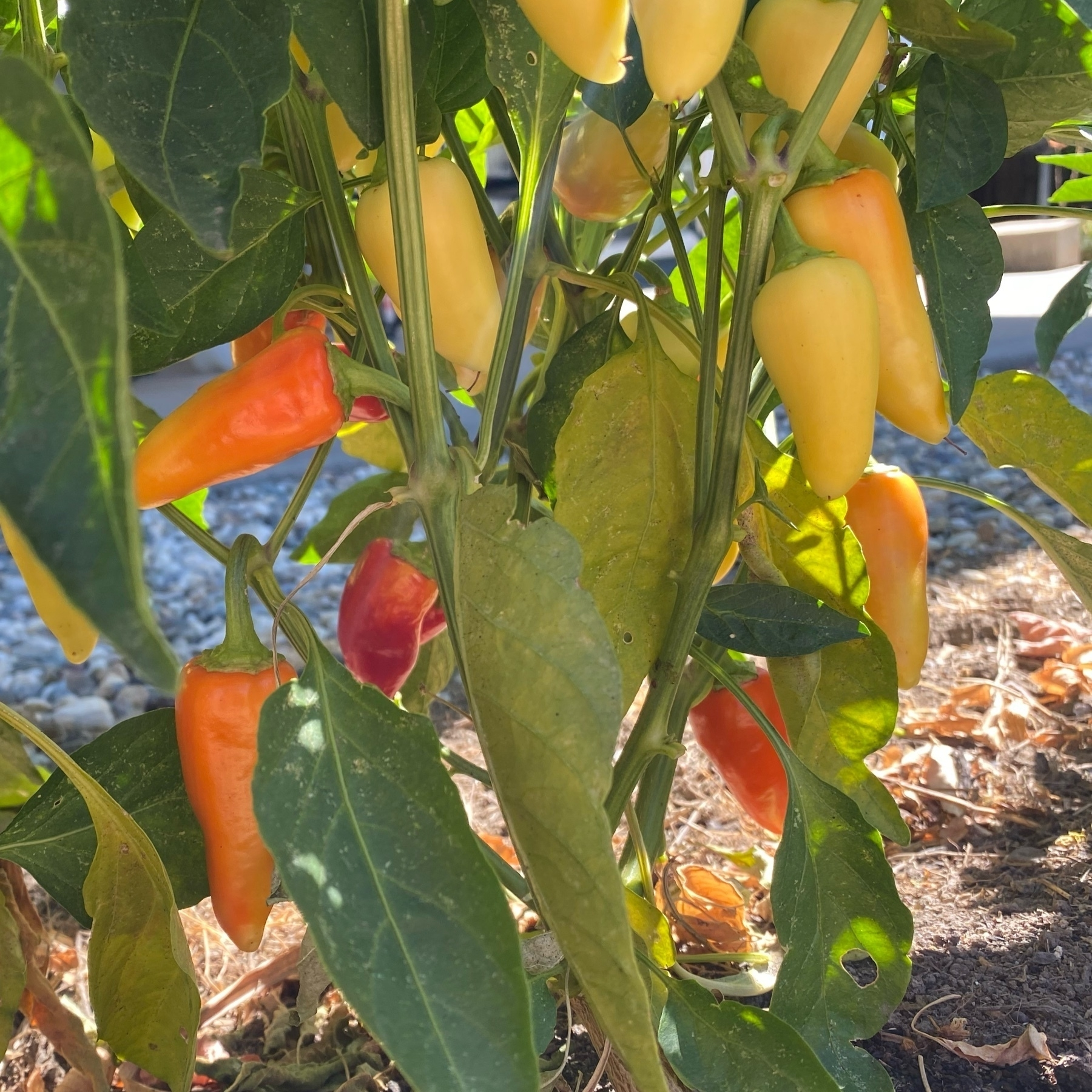 santa fe peppers ripening on a plant