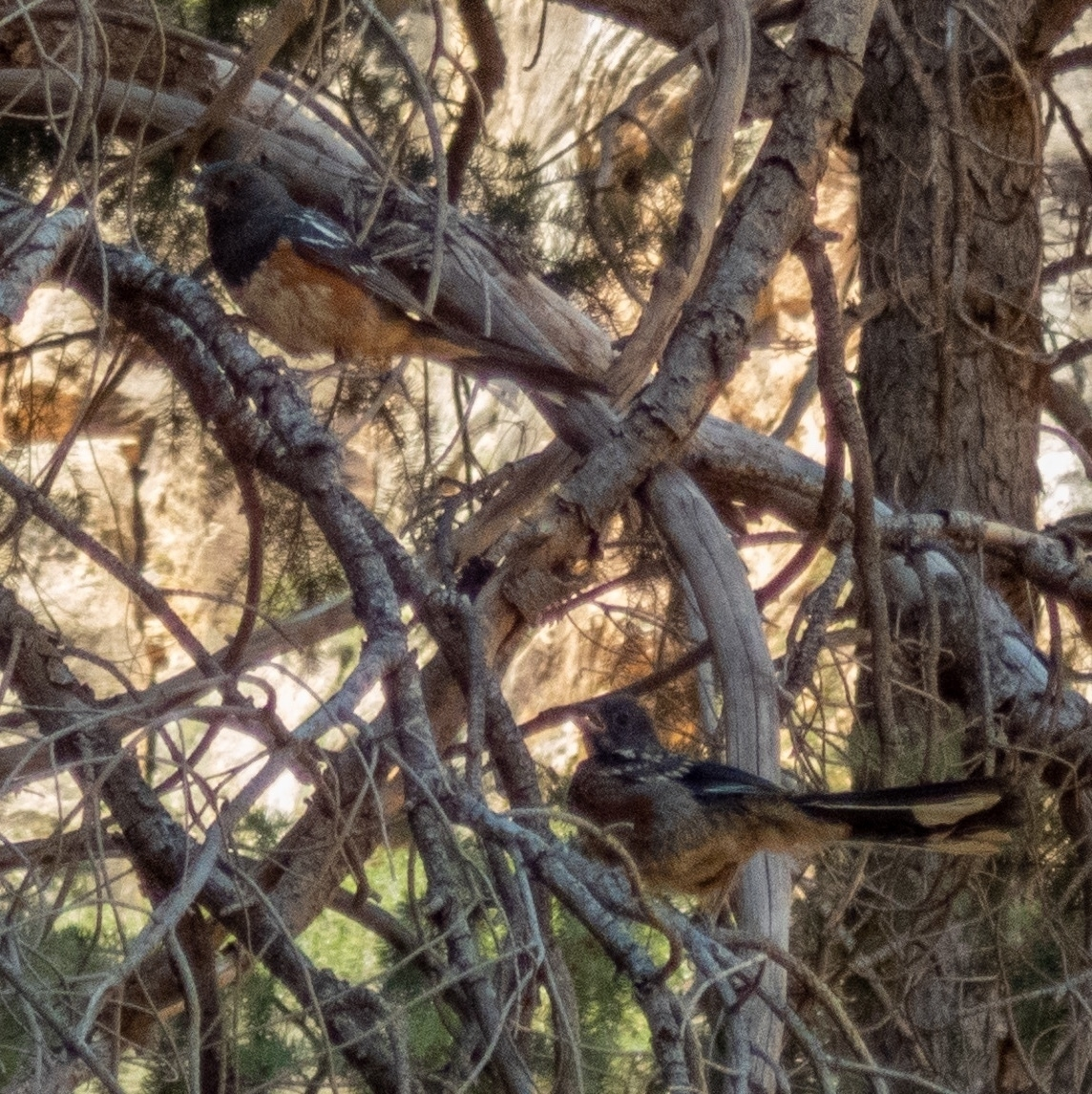 two spotted towhees in a messy tree