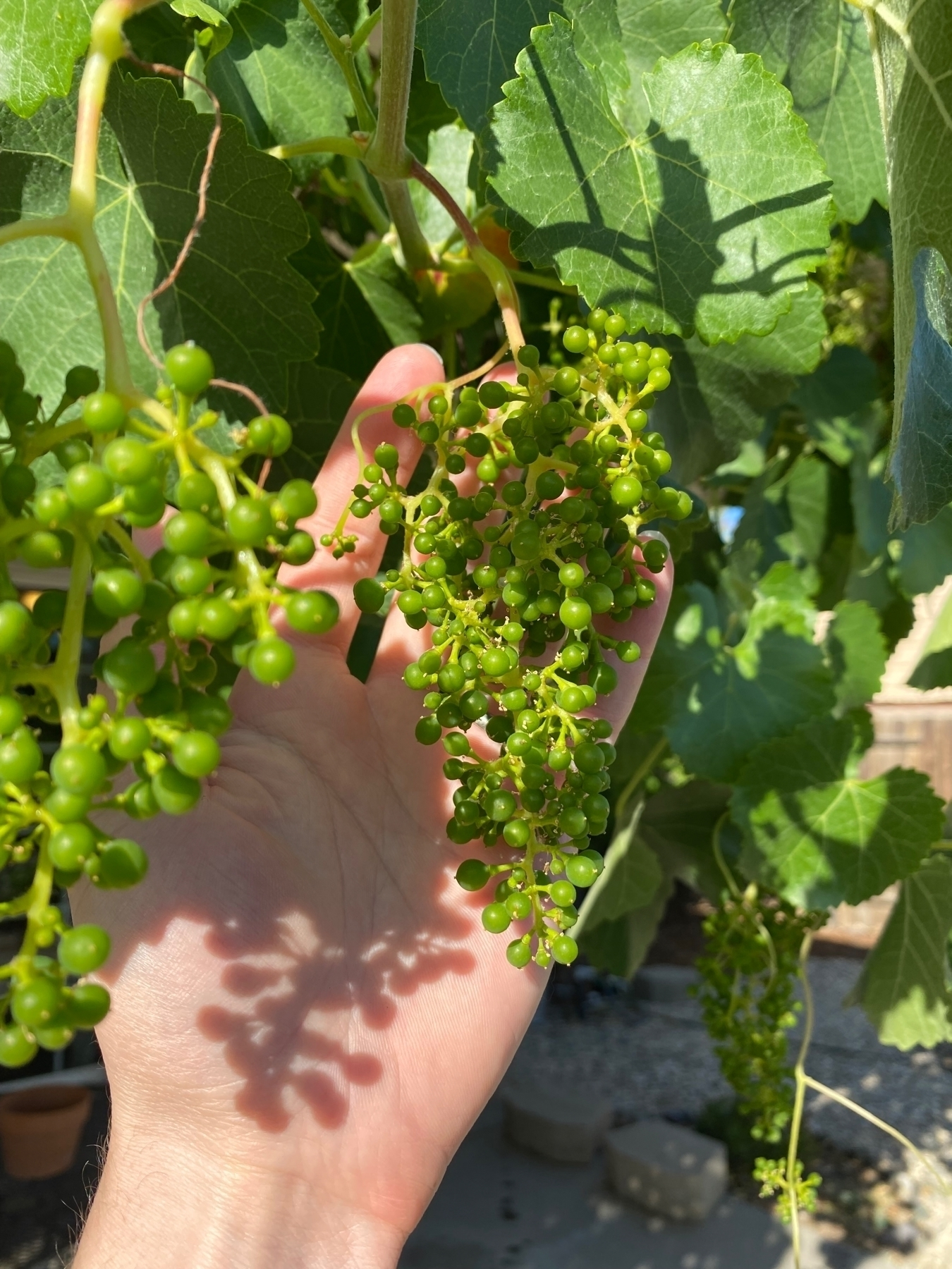 a bunch of green, unrobe grapes hanging in the sunshine